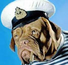 Sailor dog wearing a Navy hat