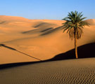 Sahara Desert with one palm tree