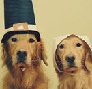 Thanksgiving dogs in Pilgrim costumes