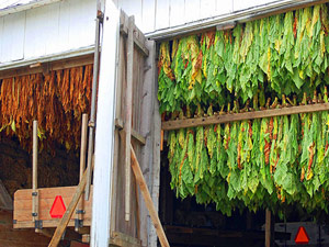 Amish tobacco crop