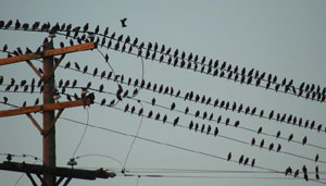 Birds on power lines
