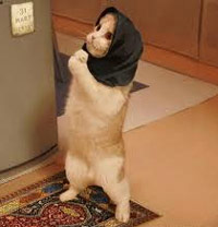 Cat praying with a headscarf