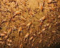 Cave crickets by the hundreds on a wall