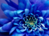 Flower that is cerulean colored blue