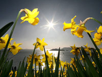 Daffodils in the sunlight