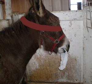 Donkey eating paper in a pen