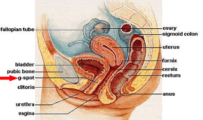 Female reproductive anatomy diagram