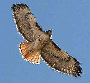 Hawk circling overhead