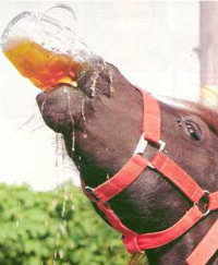 Horse guzzling beer