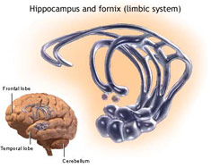 Limbic system of the brain diagram