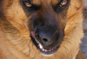 Mean, angry dog showing teeth snarling