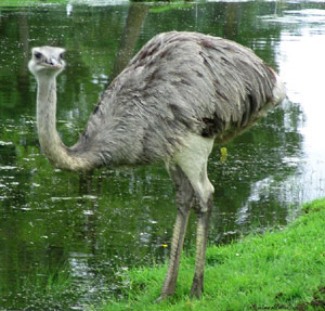 Ostrich standing next to a lake