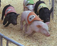 4 pigs on a racetrack running