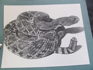 Rattlesnake in black and white photo
