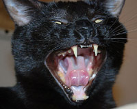 Scary black cat yelling