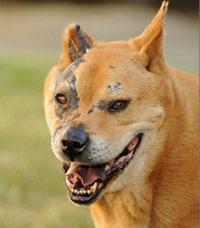 Terminator puppy dog- chow breed