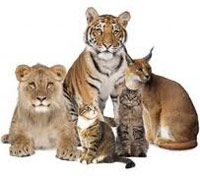 Tigers and cat family