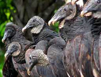 Vultures ready to eat