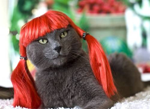 Sexy cat in red wig