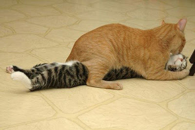 Cat lying underneath companion cat in provocative pose