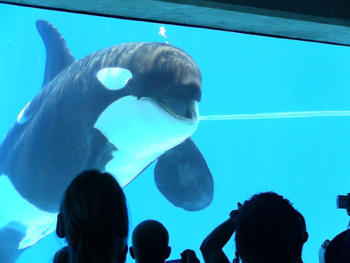 Killer whale in captivity
