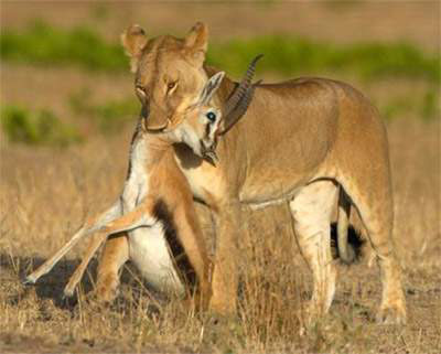 Lion eating a gazelle in the wild