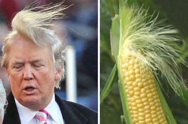 Donald Trump corn stalk hair