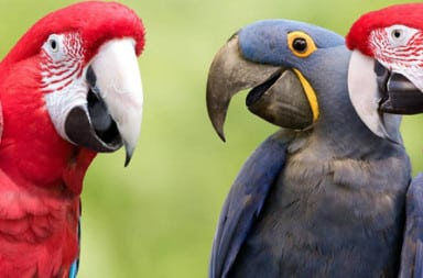 Three colorful parrots
