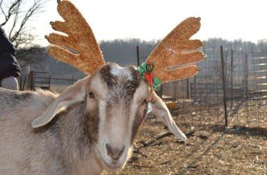 Goat wearing reindeer hat