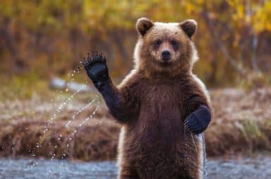 Grizzly bear waving