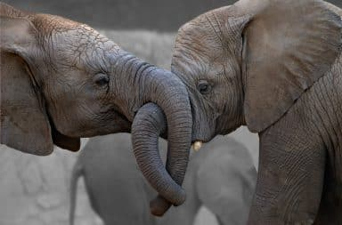 Elephants hugging with their trunks