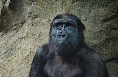 Gorilla looking up happy