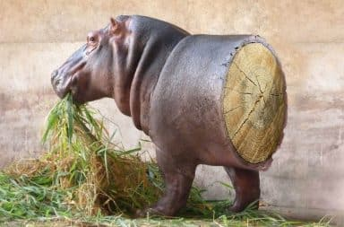 Hippo cut in half, back side made of wood