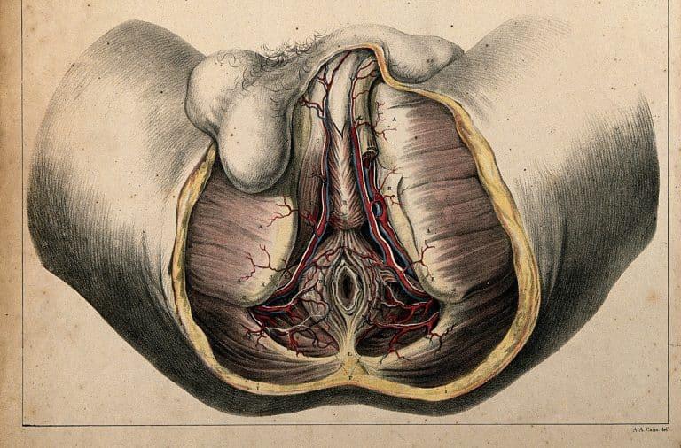 Perineum anatomy view