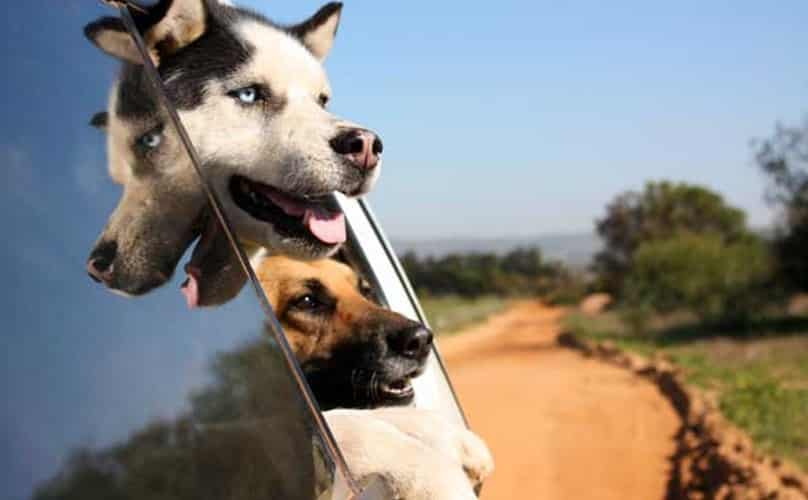 Two dogs with tongues out the window of a car