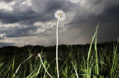Sad dandelion in a field alone