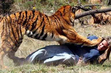 Tiger attacking man on the ground