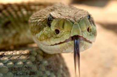 Rattlesnake hissing
