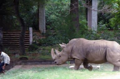Indian man chased by rhino in zoo cage