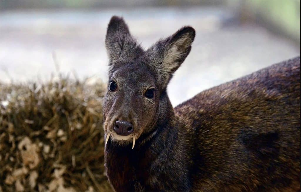 Musk deer in the wild