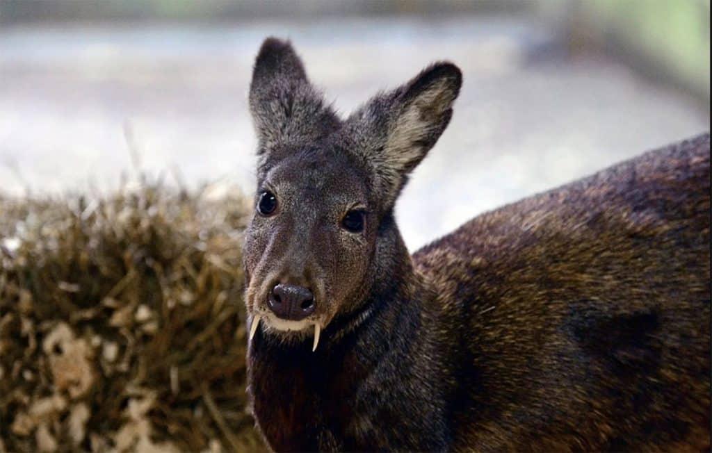 Musk deer in the wild