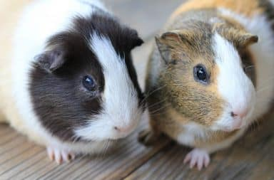 Angry guinea pigs