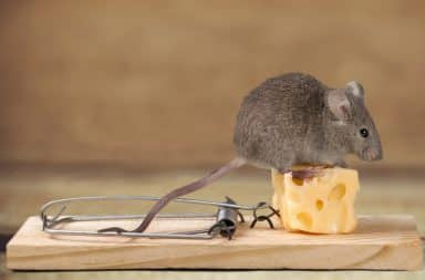 Mouse trap bait cheese
