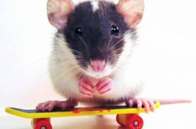 Cool rat, dang