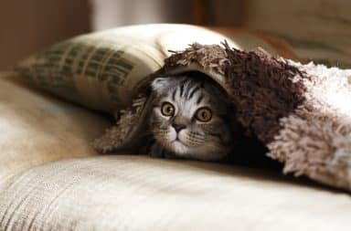 Anxious cat under a blanket
