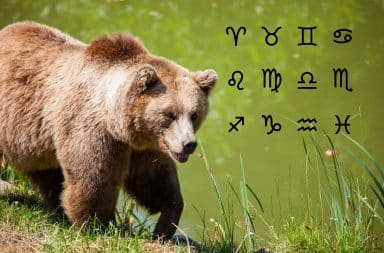 Brown bear in the wild with astrological signs