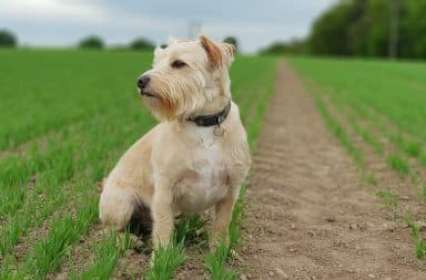 Stoic dog staring off into the distance in a field
