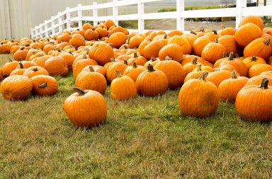 all the pumpkins in the pumpkin patch