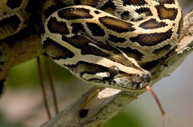 python snake wow big