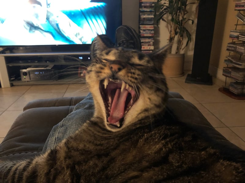 Cat yawning on recliner